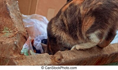 Closeup of Tri-color Calico cat eating something in garbage dumpster