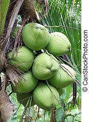 Tropical Coconut - Closeup of Tropical Coconut Fruit Tree