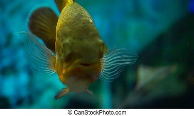 Closeup of tropical fish in aquarium at home