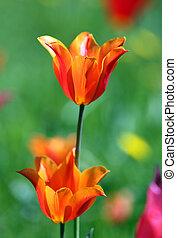 Tulip flowers boomed outdoor