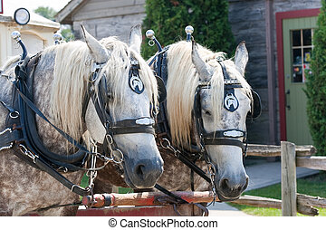 Focus on two horses with a large trolley behind. Shot in St Jacobs, Ontario, Canada