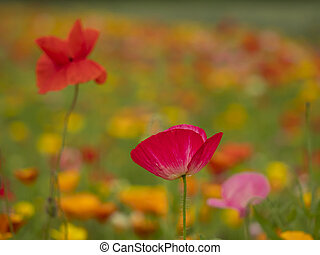 Closeup of two poppies in a mixed flower meadow