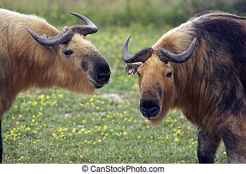 Closeup of two Takins (Musk Ox Relative) - Closeup of two...