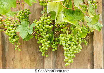 unripe Sauvignon Blanc grapes on vine - closeup of unripe...