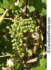 Closeup of unripened grapes