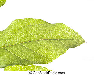 Closeup of Veins on Green Leaf White Background