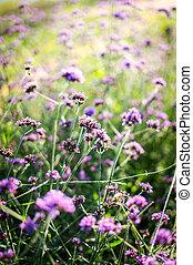 Closeup of verbena purple flower in the garden