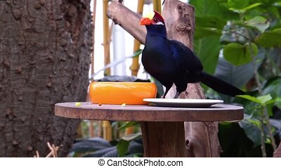 closeup of violet turaco eating food, Bird diet, popular ...
