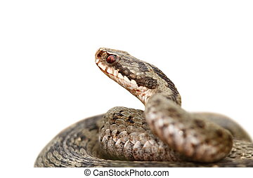 closeup of vipera berus over white