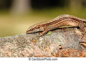 closeup of viviparous lizard ( Zootoca vivipara )