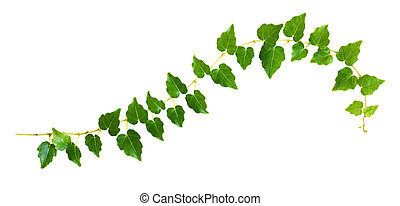 Closeup of waved ivy twig with small green leaves