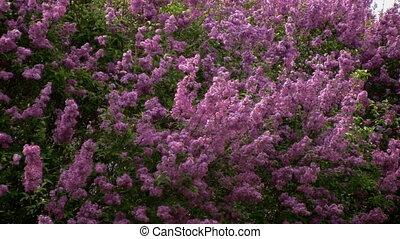 Closeup of waving lilac bush