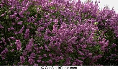 Closeup of waving lilac bush zoomin