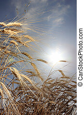 wheat against the sun