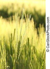 Closeup of wheat ear - Ear of wheat in the field backlit by...
