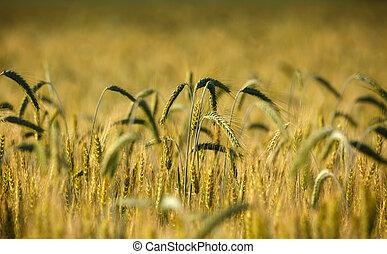 Closeup of wheat ears