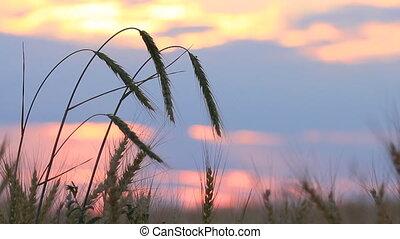 Closeup of wheat ears on breeze