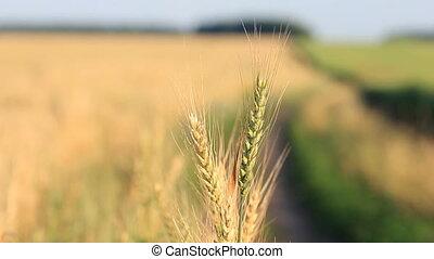 Closeup of wheat ears on wind