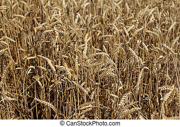 closeup of wheat ears, wheat field background