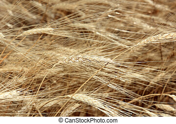 closeup of wheat in a summertime