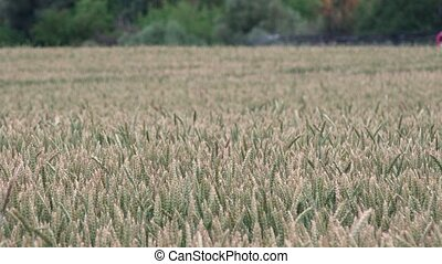 Closeup of wheat rye ears and blurred tractor machine spraying field with chemicals. 4K