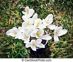 Closeup of white crocus, harbinger of spring