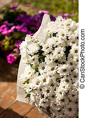 Closeup of white daisies growing in garden pot at summer day