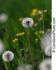 Closeup of White Dandelion in Green Flowers Field