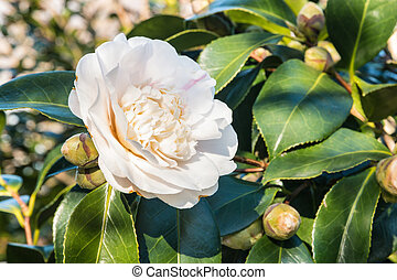 white double-flowered hybrid camellia flower - closeup of ...