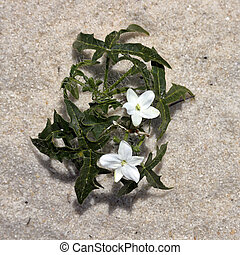 Closeup of white flower on beach sand from above