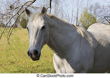 Closeup of white horse