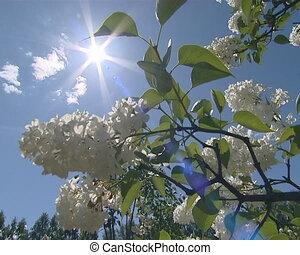 Closeup of white lilac tree blossom