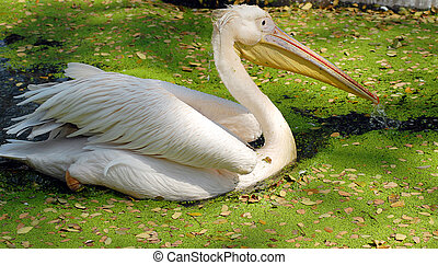 white migratory pelican bird - closeup of white migratory...