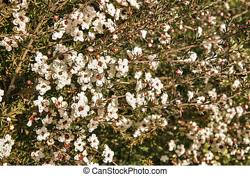 white New Zealand manuka bush with flowers in bloom