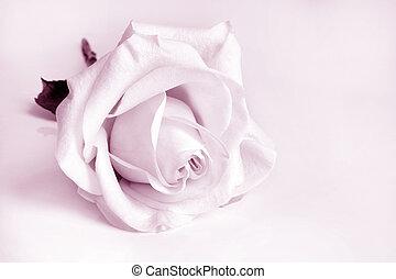 Closeup of white rose. Pink toned.