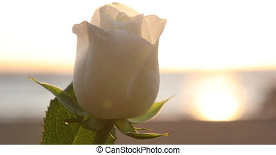 Closeup of white rose under the strong wind, seashore in the sunset