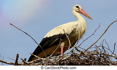Closeup of White Stork in Nest