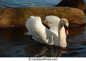 closeup of white swan on lake