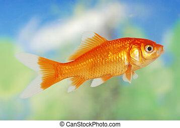 white tip gold fish