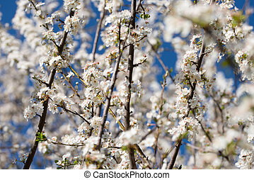 Wild Branches of a blossoming tree with white flowers