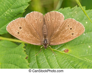 Closeup of wild brown butterfly on green leaves
