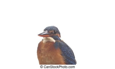 Closeup of Wild Common Kingfisher on his Perch. - Closeup of...