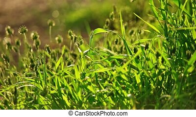 Closeup of wild grass with spikelets backlit in slow motion