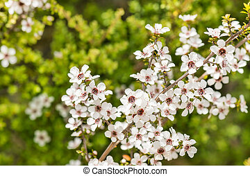 wild manuka tree flowers in bloom with blurred background - ...