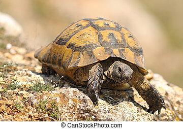 closeup of wild Testudo graeca in natural habitat, image taken in spring after hibernation ( spur-thighed tortoise )