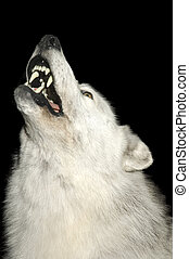 Closeup of Wolf howling isolated on black