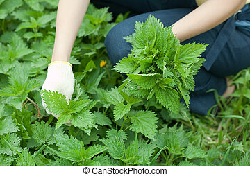 Closeup of woman gathers nettle in spring garden