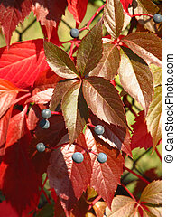 closeup of woodbine - close photo of red leaves and blue...