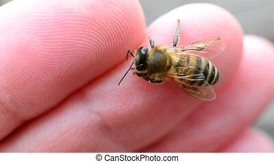Closeup of worker bee on human finger