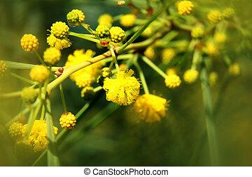 Closeup of yellow acacia (mimosa) trees on the nature